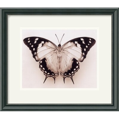 "Amanti Art Polyura Pyrrhus - Ventral View by Raquel Edwards Framed Fine Art Print - 13.46"" x 15.46"""