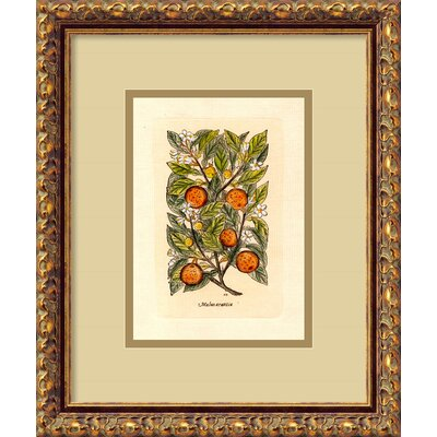 Amanti Art Orange (Malus Arantia) Framed Italian Engraving Print
