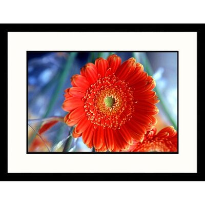 Great American Picture Gerber Daisy Framed Photograph