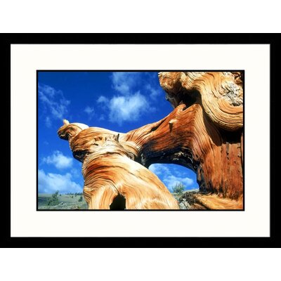 Great American Picture Bristlecone White Mountains, California Framed Photograph - Mark Gibson