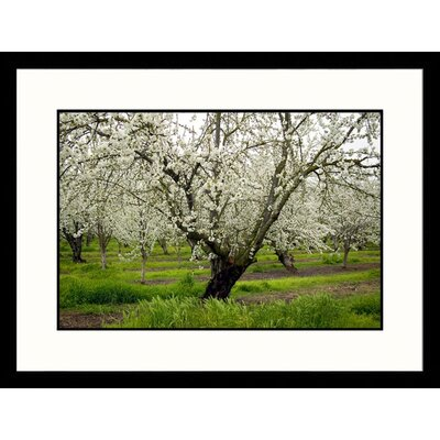 Cherry Orchard Blossoms, California Framed Photograph - Inga Spence