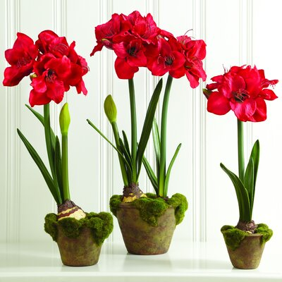 Sage & Co. Fleur Potted Amaryllis with Bud