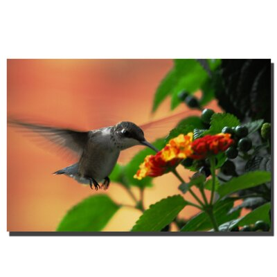 "Trademark Global Hungry Hummingbird by Kurt Shaffer, Canvas Art - 24"" x 36"""