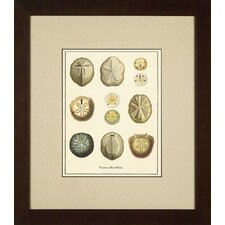 Varieties of Sand Dollars Giclee Print