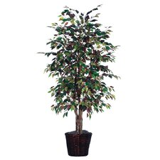 Blue Ridge Fir Executive Mystic Ficus Tree