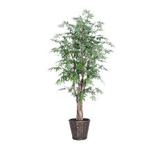 Blue Ridge Fir Executive Japanese Maple Tree