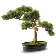Cedar Bonsai in Oval Pot
