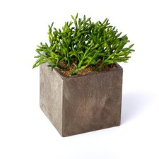 Sonoran Highlands Pencil Cactus Plant in Square Pot