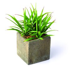 Sonoran Highlands Yucca Plant in Square Pot