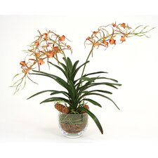 Silk Spider Orchid in Glass Bowl