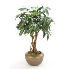 4' Mango Tree in Glazed Pot
