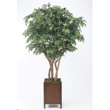 "108"" Ming Aralia Tree in Square Rattan Basket with Legs and Leather Trim"